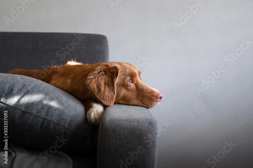 Fototapeta the dog is lying at home on the couch. Nova Scotia Duck Tolling Retriever resting. obraz