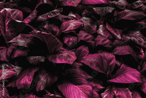Spathiphyllum cannifolium leaf concept, abstract damask texture, natural background, tropical leaf #303359892
