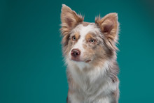 Portrait Of A Dog On A Turquoi...