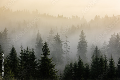 Fog above pine forests. Detail of dense pine forest in morning mist.