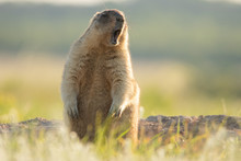 The Groundhog Stands On Its Hind Legs Near The Burrow And Whistles. Eyes Closed, As If He Is Singing. Beautiful Morning Light. A Life-size Portrait Of The Animal.