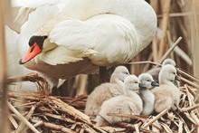 Swans In Nest