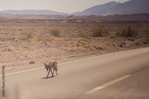 tired of the heat, the coyote is on the road in America Fototapete