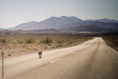 Tablou Canvas tired of the heat, the coyote is on the road in America