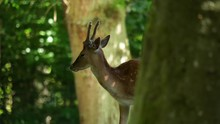 Spotted Deer Peaks Out From Behind A Tree. Peaceful Forest Scene, Handheld.