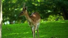 Spotted Male Deer In Green Par...
