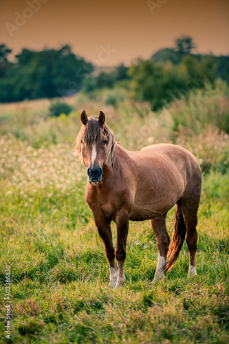 Valokuva  Domestic Horse Stands on Pasture in the Evening.
