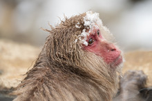 Macaque Enjoying The Hot Spring Natural Spa In Jigokudani Monkey Park