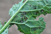 Aphids On The Rapeseed Leaf