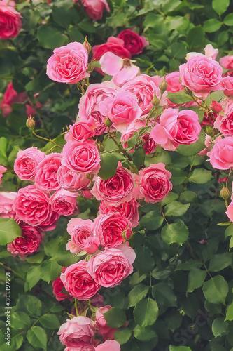 Bush of pink roses, summertime floral background Fototapeta