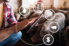 Smart Farming With Food, Veterinary Health Care, Domestic Animals And Money Concept. Close Up View Of Farmers Hands Touching Tablet Display While Surrounded By Pigs At Pig Farm.