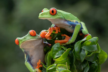 Two Red-eyed Tree Frogs In Rai...