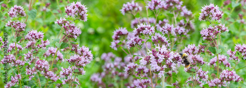 Fototapeta Thymus serpyllum, panoramic floral banner. Bee collects nectar p obraz