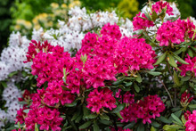 Blooming Red And White Flowers Of Rhodenron. A Great Decoration For Any Garden