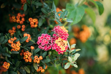 Blooming Pink Flowers Of Lantana On Background Pyracantha Coccinea Plant In Garden