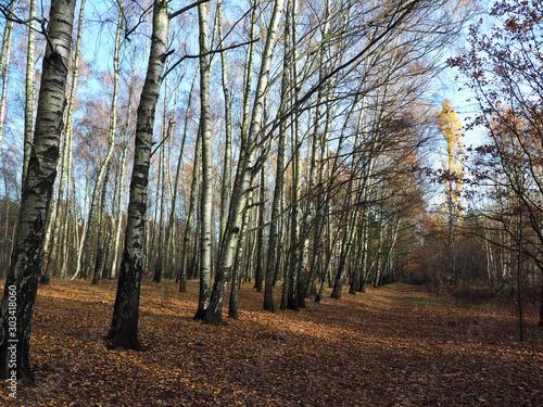 Jesień brzozowego lasu. - 303418060