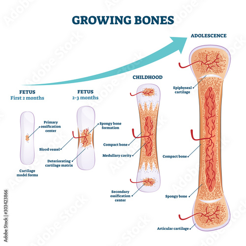Photo Growing bones vector illustration