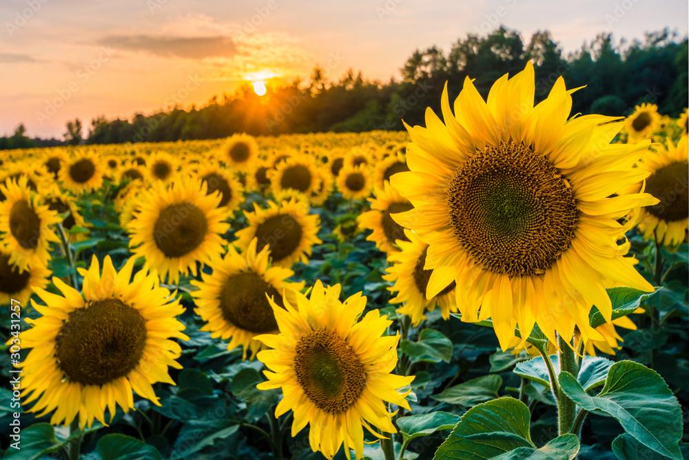 Obraz pola słoneczników jura krakowsko częstochowska fototapeta, plakat
