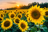 pola słoneczników jura krakowsko częstochowska