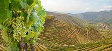 Vineyards With Red Wine Grapes...