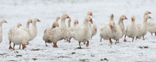 Many White Geese On A Snovy Me...