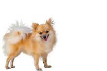Pomeranian Dog On White Backgr...