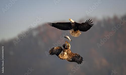 Tablou Canvas Bald Eagle Fishing