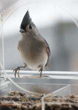 Tufted Titmouse In A Bird Feeder