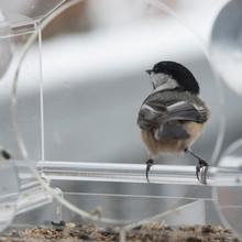Chickadee In A Bird Feeder