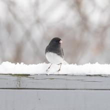 Dark Eyed Junco Bird In Winter