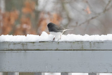Dark Eyed Junco Bird In Winter