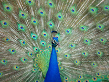 Peacock Fanned Out Feathers