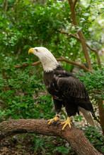 Captive Bald Eagle Perched On Tree Limb.