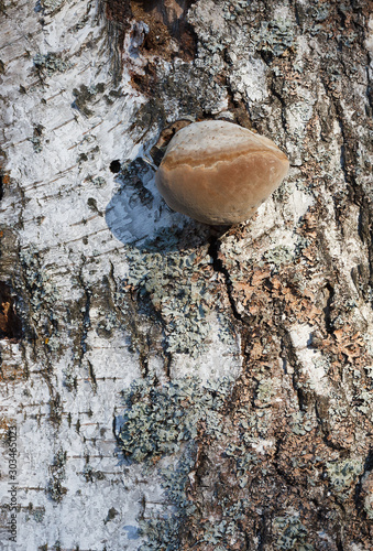 Fotografie, Tablou The polypore fungus on birch in the forest autumn Sunny.