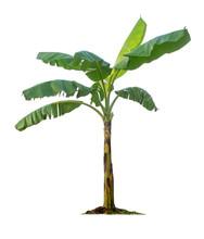 Banana Tree Isolated On White ...