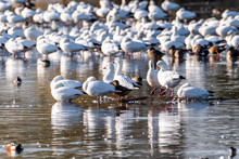 Ross's Geese (Anser Rossii) And Snow Geese (Chen Caerulescens) Resting In A Pond In The Wetlands Of Merced National Wildlife Refuge, Central California