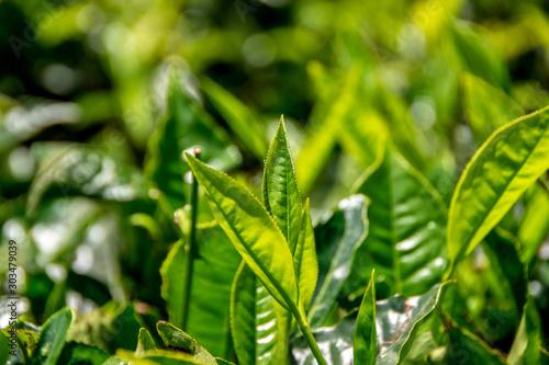 Obraz na płótnie Tea leafs macro