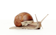 Snail On A White Background