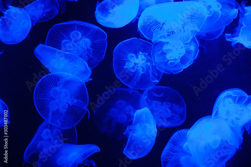 Fototapeta  Blue Light Bright Transparent Jelly Fish Aquarium