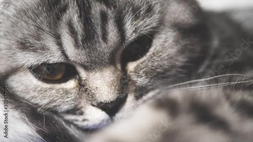 Fotografía  The striped gray cat lies resting
