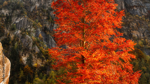 orange tree in autumn season in the mountains of Val di Mello Wallpaper Mural