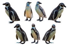 Set Of Humboldt Penguin (Sphen...