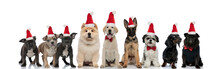 Group Of Happy Dogs Wearing Santa Claus Hats For Christmas