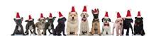 Cute Santa Claus Dogs Standing...