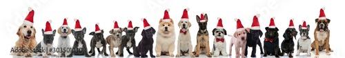 Fotografía  many cute dogs wearing santa claus hats