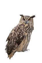 Great Horned Owl Isolated On W...