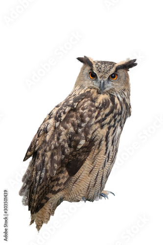 great horned owl isolated on white background Wallpaper Mural