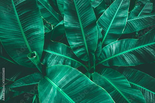 Papier Peint - tropical banana leaf texture in garden, abstract green leaf, large palm foliage nature dark green background