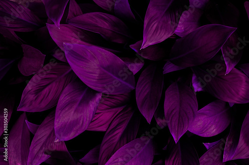 abstract purple leaf texture, nature background, tropical leaf #303504259