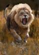 Berberlöwe, Atlaslöwe oder Nubische Löwe (Panthera leo) greift an,  von vorneo leo)